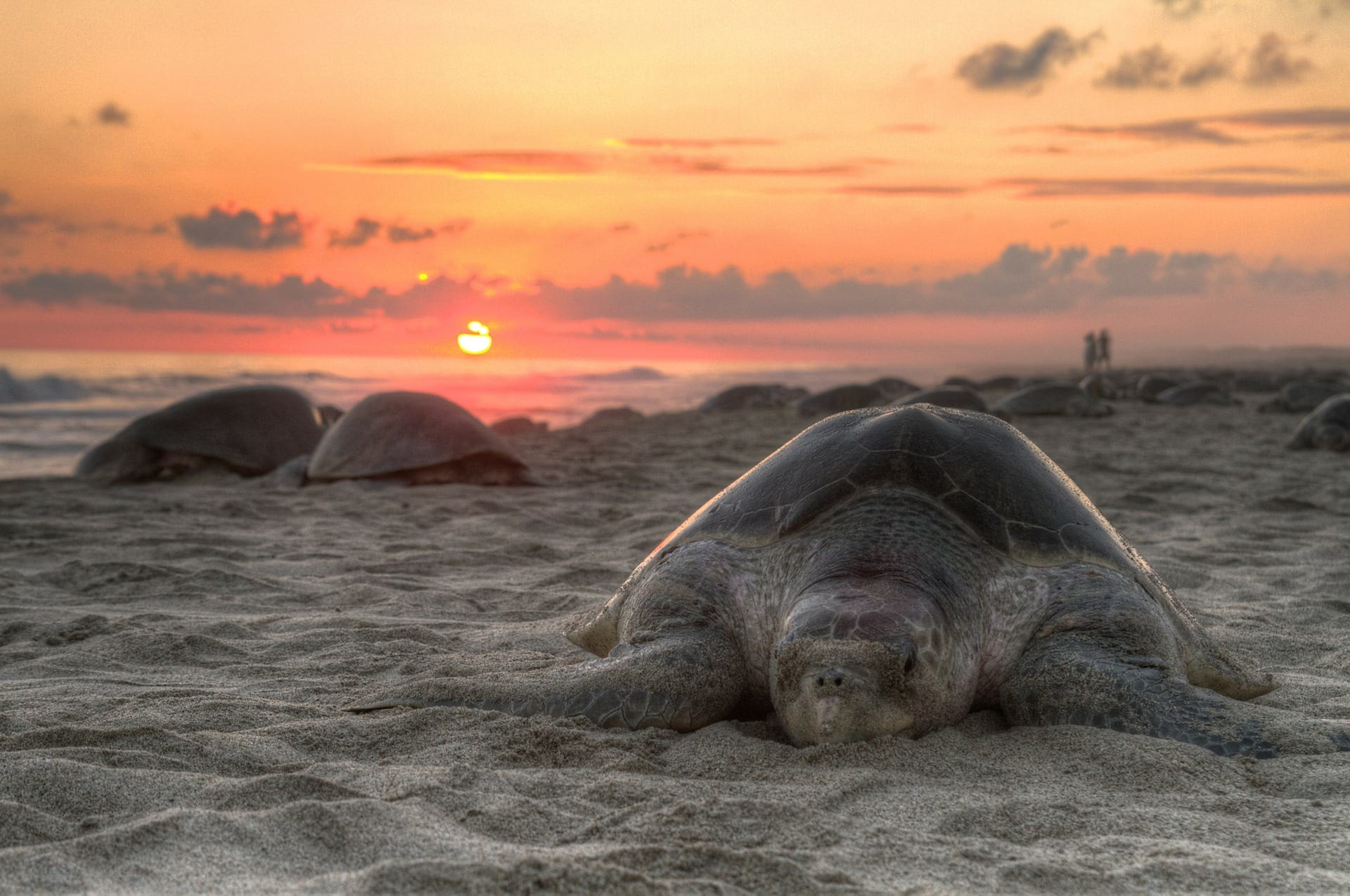 Sea turtles out on the beach during sunset